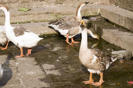 Duck Thirty - Very graceful white & brown ducks strolling around the pond