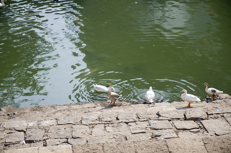 Duck Thirty Six - Cute little ducks cooling themselves in the pond. Stock Photo