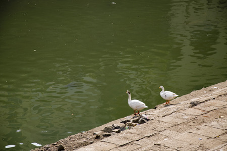 Duck Thirty Nine - Cute little ducks relaxing around the pond Stock Photo