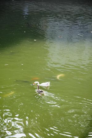 Duck Forty One - Leuke kleine eenden die zich in de vijver afkoelen.