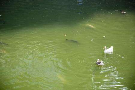 Duck Forty Two - Leuke kleine eenden die zich in de vijver afkoelen.