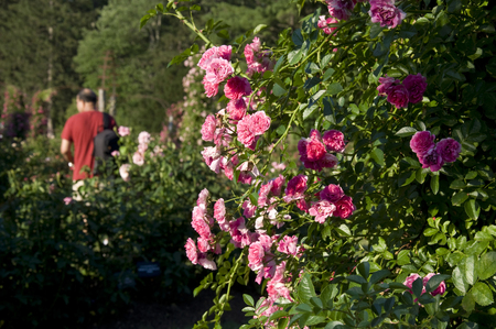 Elizabeth Park Five: Beautiful Roses in in Rose Garden