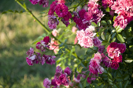 Elizabeth Park Six: Beautiful Roses in Elizabeth Park, West Hartford Stock Photo