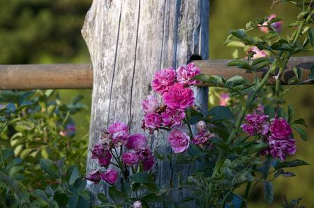 Elizabeth Park Nine: Beautiful Pink Roses in Elizabeth Park, West Hartford