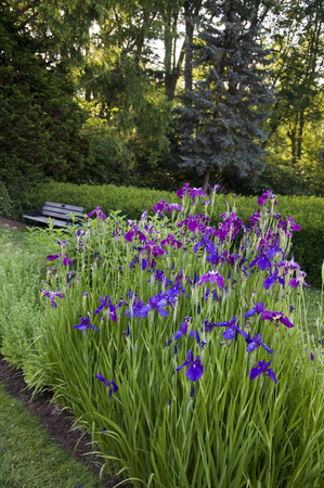 Elizabeth Park Fourteen - Beautiful Irises blossoming in Garden of heaven Stock Photo