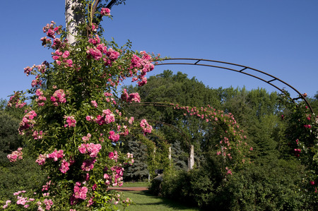 Elizabeth Park Twenty - Rose Blossom op Bogen die in de Lente bloeien Stockfoto
