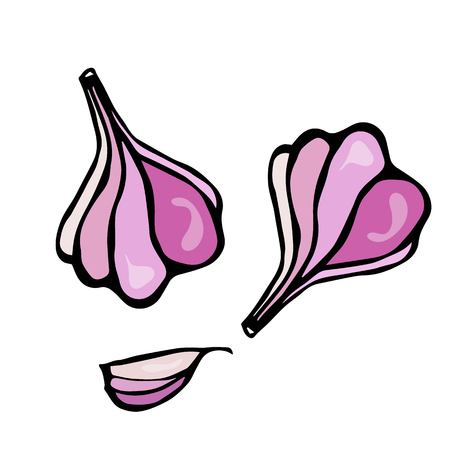 Food and Spice Vector Illustration. Garlic and Garlic Clove Herbs and Spices Sketch. Illustration