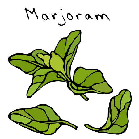Marjoram Herb Branch and Leaf. Realistic Hand Drawn Doodle Style Sketch. Vector Illustration Isolated On a White Background.