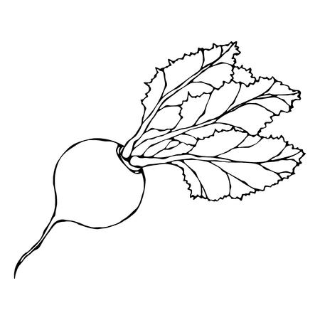 Reife rote Rübe. Rote-Bete-Wurzeln mit Spitzenblättern. Frischer Gemüsesalat. Handgezeichnete Vektor-Illustration. Savoyer Gekritzelart.