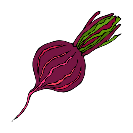 Ripe Beet - Half of Beetroot, Cut Beet Slices. Fresh Vegetable Salad. Hand Drawn Vector Illustration. Savoyar Doodle Style. Illusztráció