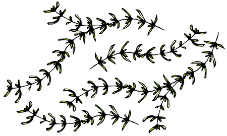 Set of thyme branches on a white background 向量圖像