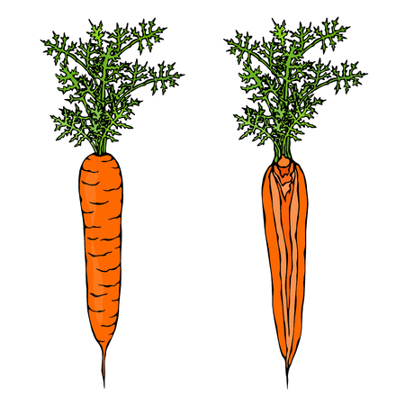 Fresh orange carrots with leaves, doodle style illustration.