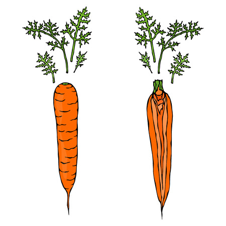 Fresh Orange Carrots with Leaves.