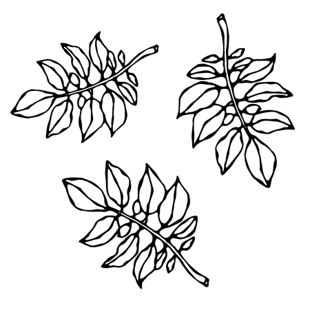 Leaves of Solanaceous Plants. Potato or Tomato Leaf. Botanical or Gardening Illustration. Vegetable Grow. Realistic Hand Drawn Illustration. Savoyar Doodle Style