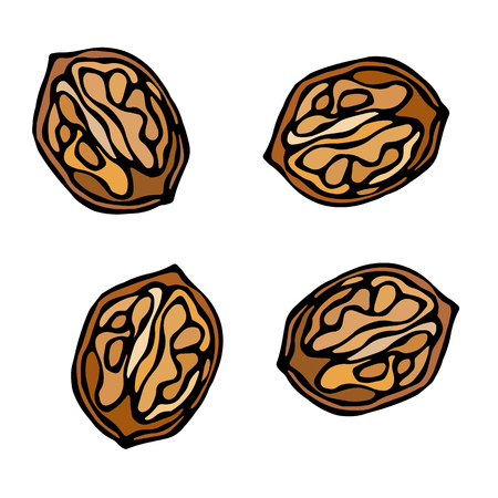 Half of Walnut in a Shall with Kernel. Realistic Hand Drawn Illustration.
