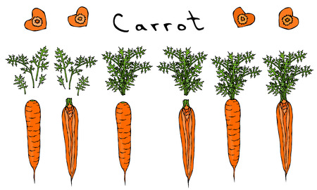 Fresh Orange Carrots with Leaves. Ripe Vegetables. Carrots with Separated Tops. Heart Shape Slices. Vegetarian Cuisine. Realistic Hand Drawn Illustration.