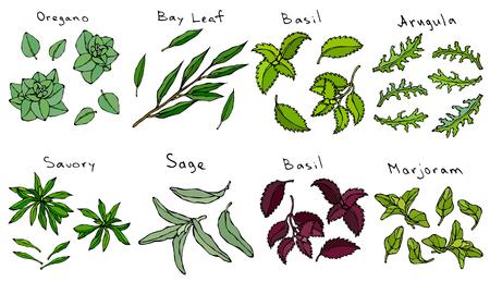 Fresh Green Leaves of Herbs Oregano, Bay Leaf, Basil, Arugula, Savory Sage, Purple or Red Basil Marjoram. Kitchen Background. Realistic Hand Drawn Illustration. Savoyar Doodle Style Stock Vector - 100338877