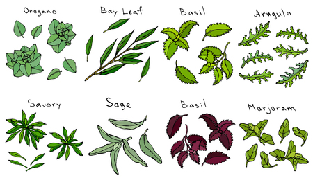 Fresh Green Leaves of Herbs Oregano, Bay Leaf, Basil, Arugula, Savory Sage, Purple or Red Basil Marjoram. Kitchen Background. Realistic Hand Drawn Illustration. Savoyar Doodle Style Illustration