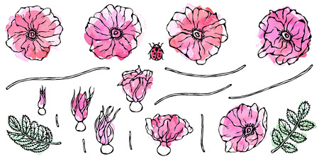 Watercolor Painting of Wild Rose Pink Flower. Dog Rose, Briar Leaf. Botanical Painting. Realistic Hand Drawn Illustration. Savoyar Doodle Style. Stockfoto - 103456466