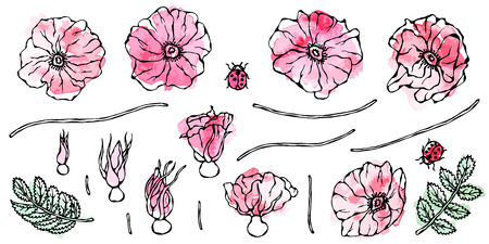Watercolor Painting of Wild Rose Pink Flower. Dog Rose, Briar Leaf. Botanical Painting. Realistic Hand Drawn Illustration. Savoyar Doodle Style.