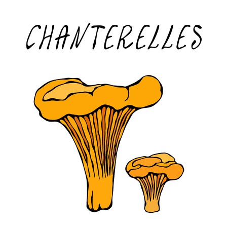 Forest Chanterelles Mushrooms. Autumn or Fall Harvest Collection. Realistic Hand Drawn High Quality Vector Illustration. Doodle Style
