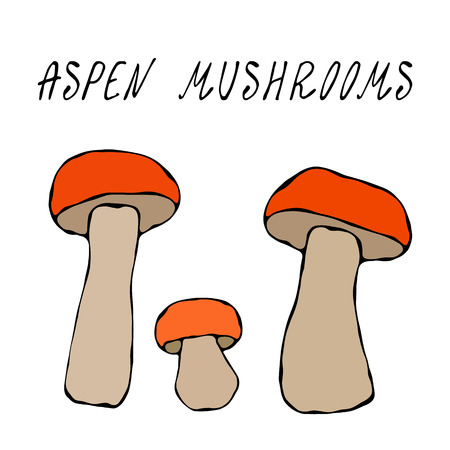 Forest Aspen Mushrooms. Autumn or Fall Harvest Collection. Realistic Hand Drawn High Quality Vector Illustration. Doodle Style