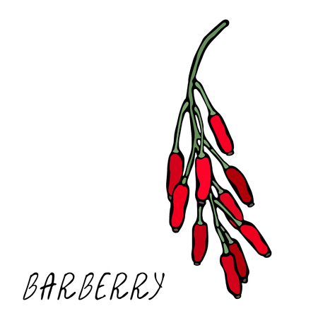 Barberry Red Berries Bunch. Autumn or Fall Harvest Collection. Realistic Hand Drawn High Quality Vector Illustration. Doodle Style