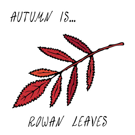 Red Rowan Leaf. Autumn or Fall Harvest Collection. Realistic Hand Drawn High Quality Vector Illustration. Doodle Style Vectores