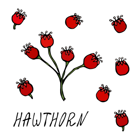 Red Hawthorn Berries. Autumn or Fall Harvest Collection. Realistic Hand Drawn High Quality Vector Illustration. Doodle Style Vectores