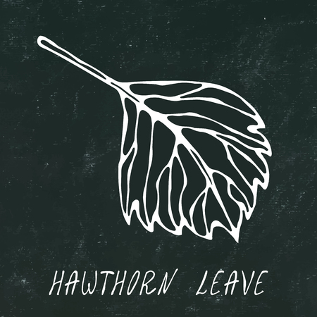 Black Board. Green and Yellow Hawthorn Leaf. Autumn or Fall Harvest Collection. Realistic Hand Drawn High Quality Vector Illustration. Doodle Style