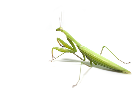 mantid: Mantis on white background Stock Photo