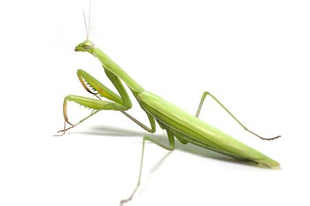 Mantis on white background Stock Photo