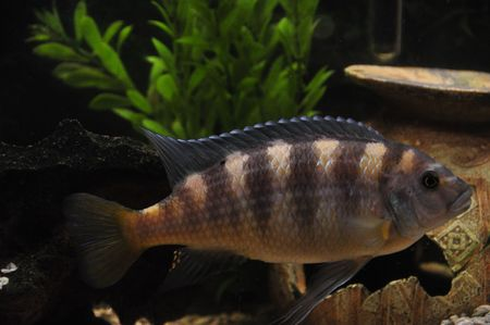 large cichlid: Cichlid Bumblebee Stock Photo