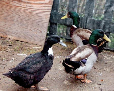 more ducks Stok Fotoğraf