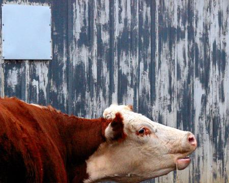 llamando: Madre vaca llamando a su cría