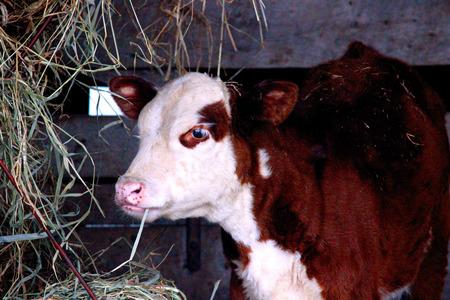 Calf being weened
