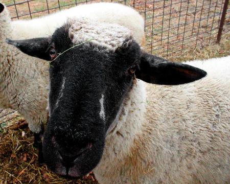 Pecore in azienda Archivio Fotografico - 48040945