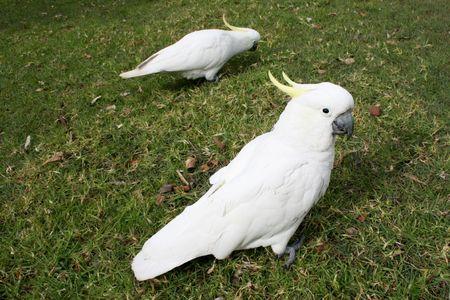 cockatoos: Due cacatua in un parco di Sydney