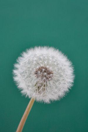 A whole dandelion photo