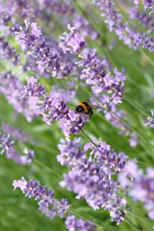 A bumblebee on a lavender Stock Photo - 5367316