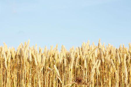 A beautiful corn field in a line photo