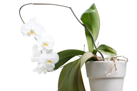 phal: Whole orchid plant isolated on white