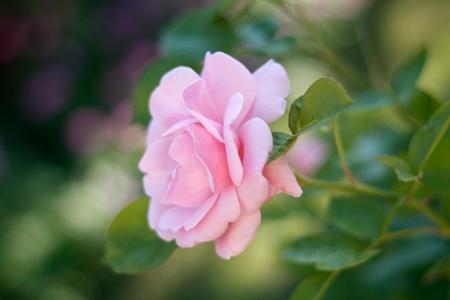 Pink rose Stock Photo - 8535190