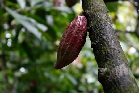 Cacao plantation photo