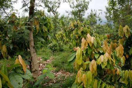 Cacao plantation Stock Photo