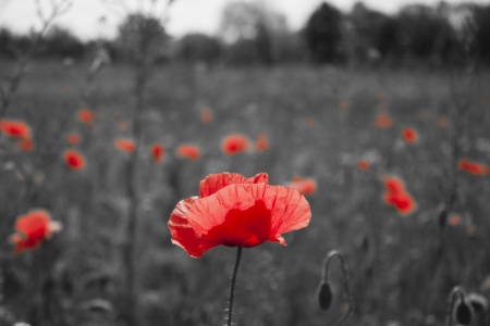 poppy flower: red poppies