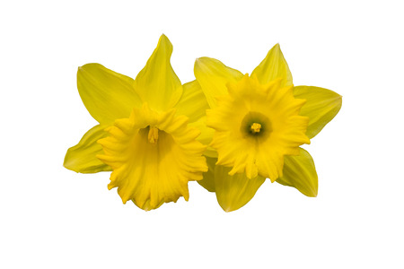 sepal: Yellow flowers (narcissus) isolated on white Stock Photo