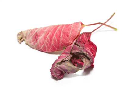 Dead Poinsettia leaves on a white