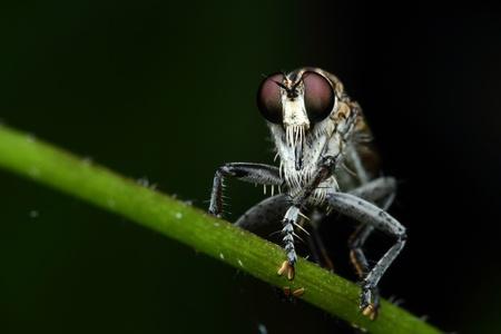 asilidae: Asilidae Stock Photo