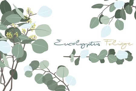 Vector Illustration of Eucalyptus Foliage Branch Collections